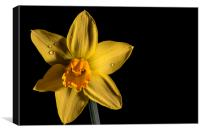 Daffodil, Canvas Print