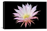Easter Lily Cactus, Canvas Print