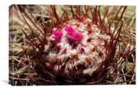 Melocactus azureus ssp. ferreophilus, Canvas Print