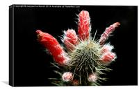 Firecracker Cactus, Canvas Print