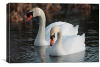 Two Swans swimming, Canvas Print