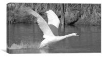 Swan Flight, Canvas Print