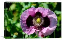 Lilac  Poppy Flower, Canvas Print