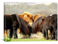 Shetland Ponies, Canvas Print