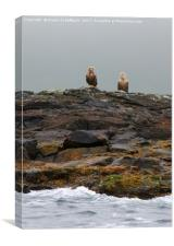 A Brace of White-tailed Eagles Waiting for Diner ;, Canvas Print