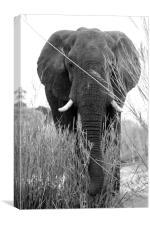 Elephant Head-on, Canvas Print