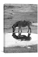 Zebra On Reflection, Canvas Print
