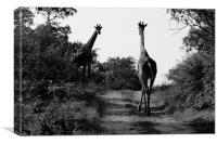 Caution! Giraffe Crossing, Canvas Print