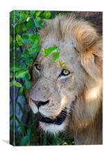 Lion After A Kill, Canvas Print