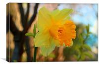 Daffodil Textures, Canvas Print
