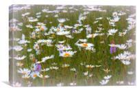 Daisy Fields, Canvas Print