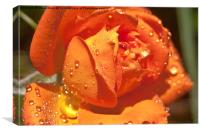 Watered Rose, Canvas Print
