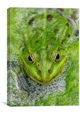 Green frog in pond, Canvas Print