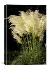 Pampas Grass Cortaderia selloana, Canvas Print