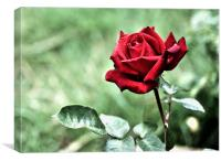 Red Rose, Canvas Print