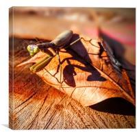 Knæler, Aegenouille dans feuilles mortes, mantis o, Canvas Print