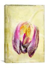 Faded Tulip, Canvas Print