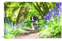 Molly the Border Collie enjoying fetching her stic, Canvas Print