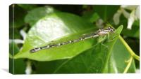 Dragonfly on a leaf, Canvas Print