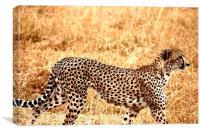 Cheetah on the prowl, Canvas Print