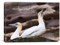 Pair of Gannets, Canvas Print