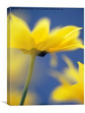 Soft Focus Yellow Chrysanthemums, Canvas Print