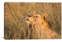 Lioness Enjoying The Morning Sun, Canvas Print