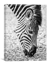 Plains Zebra Grazing, Canvas Print