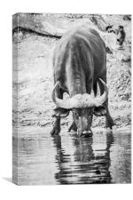 Cape Buffalo Drinking, Canvas Print