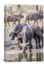 Cape Buffalo Herd, Canvas Print