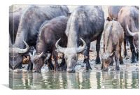 Cape Buffalo Drinking in Zambesi, Canvas Print