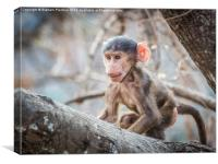 Cute Baby Baboon, Canvas Print