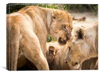 Lioness Defends Her Kill, Canvas Print