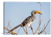 Southern yellow-billed hornbill, Canvas Print