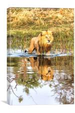 Lion in River with Reflection, Canvas Print