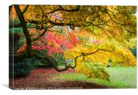 Japanese Maples (Acer Palmatum) in Autumn Colours, Canvas Print