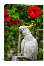 Sulphur crested cockatoo with hibiscus, Canvas Print