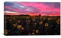 Sunflowers hiding from a firey sky, Canvas Print