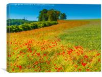 Red Poppies in a corn field, Canvas Print
