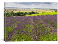 Yorkshire Lavender, Canvas Print