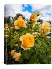 Shrub Rose GRACE fragrant garden flower, Canvas Print