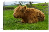 A young brown Highland calf resting contentedly in, Canvas Print