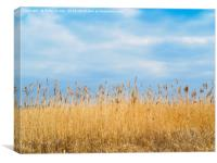 A Reed Bed in a wetland  Nature Reserve  in Yorksh, Canvas Print