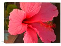 a pink hibiscus in bloom, Canvas Print