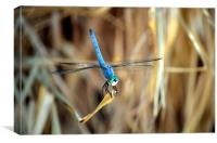 dragonfly hanging out, Canvas Print