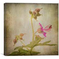 Geranium macrorrhizum, Canvas Print