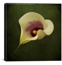 Calla Lily, Canvas Print