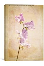Sweet Pea, Canvas Print