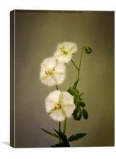 White Dusky Cranesbill 2, Canvas Print
