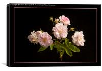 Musk Rose on Black, Canvas Print